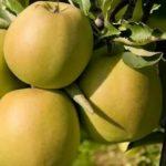 Ранние урожайные сорта помидоров
