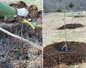 Посадка фруктовых деревьев весной