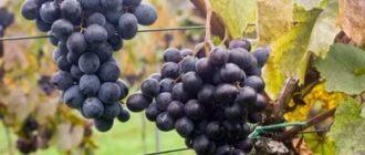 Ранние сорта винограда в средней полосе