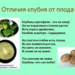 Физалис и его лечебные свойства