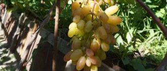 Сорта винограда для сибири фото