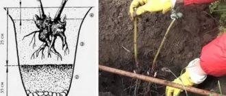 Как правильно посадить пионы