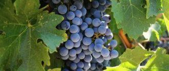 Технические сорта винограда для средней полосы
