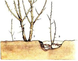 Что такое отросток от корней яблони