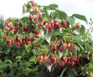 Малиновое дерево описание